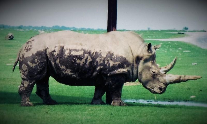 donny-the-rhino