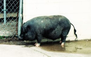 vietnamese-pot-bellied-pig